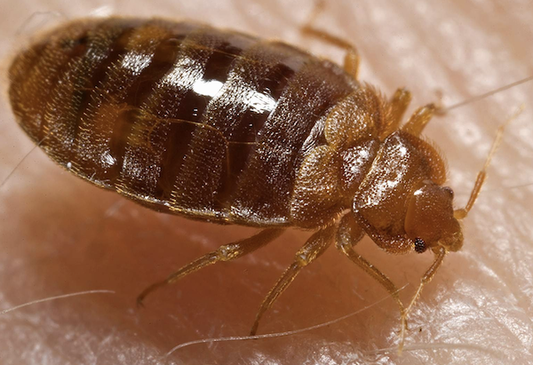 Bed bugs vs. fleas vs. dust mites: What's the difference?